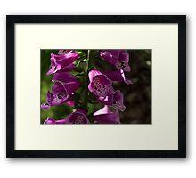 The Splendor of Foxgloves Framed Print