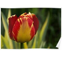 Sparkles and Warmth - a Red and Yellow Tulip in the Spring Rain Poster