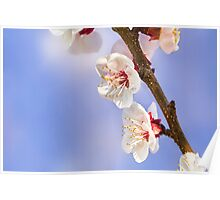Apricot Flowers Poster