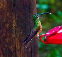 Mindo Hummingbird  by Al Bourassa