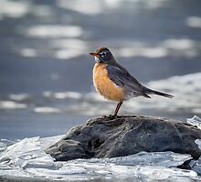 The American Robin by Bill Wakeley