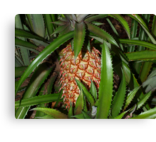 A growing pineapple Canvas Print