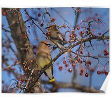Cedar Waxwing Eating Berries 9 Poster