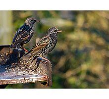 Starling - Sturnus vulgaris Photographic Print