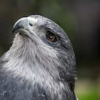 39 great grey eagle by pcfyi
