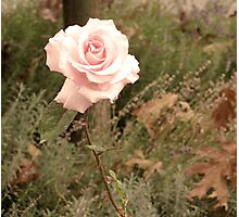 Autumn Rose Photographic Print