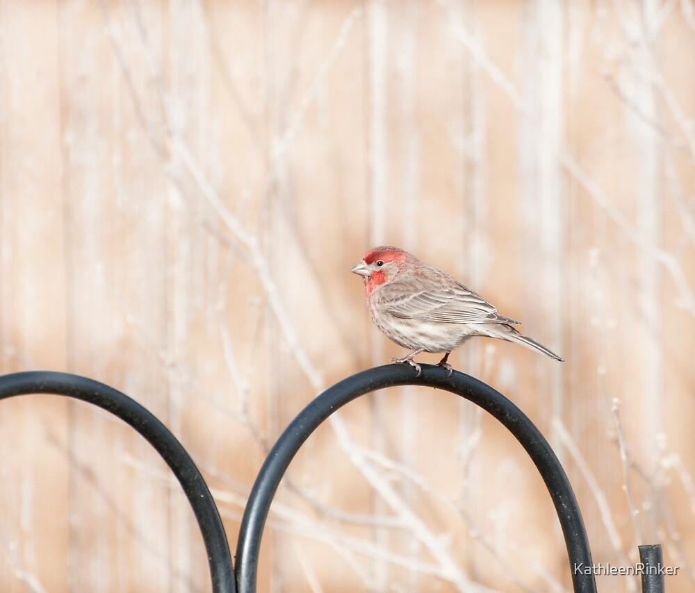 Male House Finch by KathleenRinker