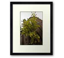 Beautiful Golden Chain Tree in Full Bloom Framed Print