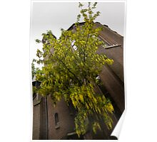 Beautiful Golden Chain Tree in Full Bloom Poster