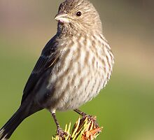 Female House Finch by lorilee