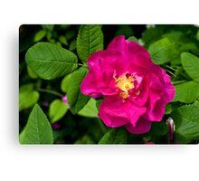 Hansa Rose (Rosa rugosa 'Hansa') Flower. Canvas Print