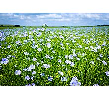 Blooming flax field Photographic Print