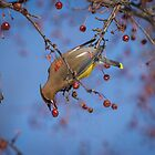Cedar Waxwing Eating Berries 10 by Thomas Young