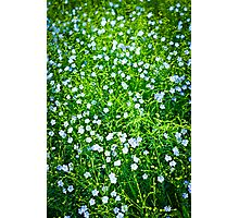 Blooming flax background Photographic Print