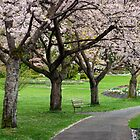 Cherry Blossoms in Stanley Park by Michael Russell