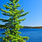 Pine tree at lake shore by Elena Elisseeva