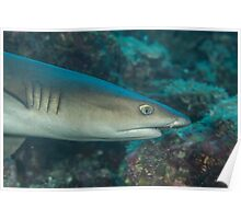 White-tipped Reef Shark Poster