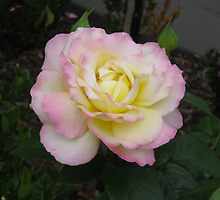 Rose 1 by Heather Jephcott