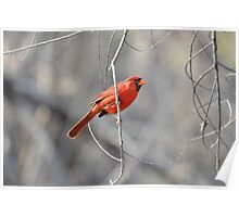 Cardinal male Poster