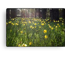 Glowing Daffodils Canvas Print
