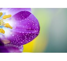 Tulip 1354 Photographic Print