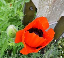 Summer Poppy by Jessica Reilly