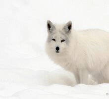 A Fox in the snow.. by John44