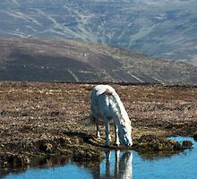 Horse Drinking at Mountain Pond by Nick Jenkins