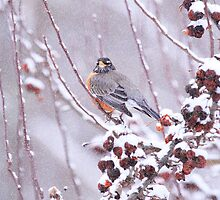 American Robin In Winter by daphsam