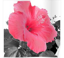 Pink Hibiscus Isolated Color #2 Poster