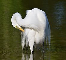 Great Egret by bman48