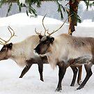 Caribou Capture by vette