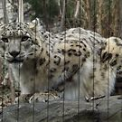 Snow Leopard, Central Park Zoo, New York City  by lenspiro