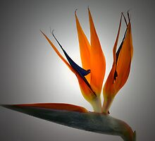 Spotlight On Crane Flower. by Terence Davis