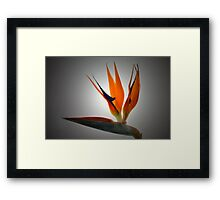 Spotlight On Crane Flower. Framed Print