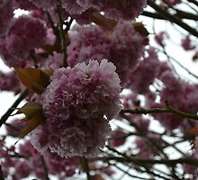 Beautiful Pink Cherry Blossom by caseyfarley