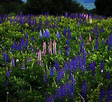 Last Light on a Lupine Field by Wayne King