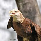 Juvenile Bald Eagle  by Jeff Ore