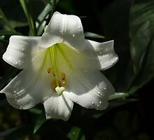 Of Water Pearls and Easter Lilies by Georgia Mizuleva