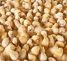 Large Group Of Baby Chicks On Chicken Farm by emirali kokal