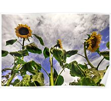Sunflower Decay Poster