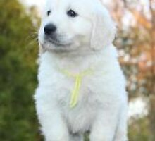 White golden retriever puppies by southerncharmgo