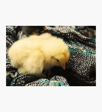 Cute little yellow chicken Photographic Print