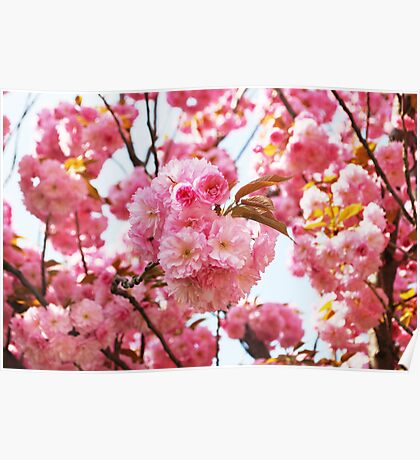 Cherry tree blossom Poster
