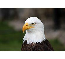 Male American Bald Eagle Photographic Print