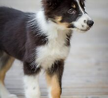Border Collie Puppy - Standing by Paul Bird