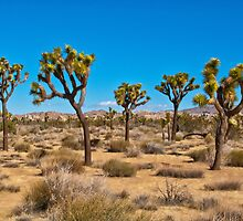 group of Joshua Trees- Yucca brevifolia by David Chesluk