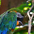 Macaw - Cincinnati by Tony Wilder