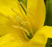Primrose ~ Yellow Delight ~ close-up by steppeland