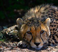 Cheetah by Magic-Moments